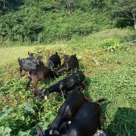 【爱心扶贫】琼中吊罗山奔富种养农民专业合作社的扶贫黑山羊 (不支持线上交易)