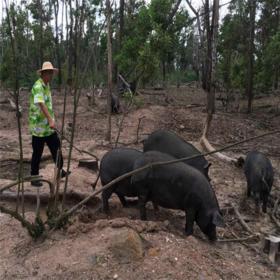 【爱心扶贫】定安新竹南华养殖专业合作社的黑猪(不支持线上交易)