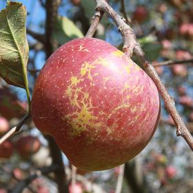【淘农村口碑产品】大凉山盐源苹果雪山下源生态冰糖心丑苹果