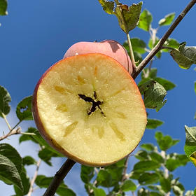 大凉山脆甜丑苹果 离城市远 离太阳近 自然成熟的味道 甜到心坎