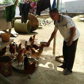 【爱心扶贫】万宁贫困户肖传松散养的山鸡 (不支持线上交易)