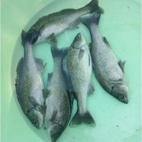 【爱心扶贫】五指山福盛生态综合养殖合作社的澳洲银鲈鱼(不支持线上交易)