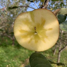 高原大山深处土生土长的凉山盐源丑苹果,全年日照超过3000小时  爽脆 甜度高达16-19度