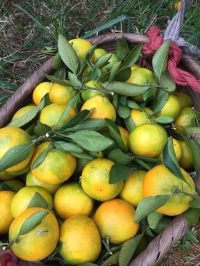湖南石门蜜橘 树上自然成熟 无打蜡 无农药 无籽