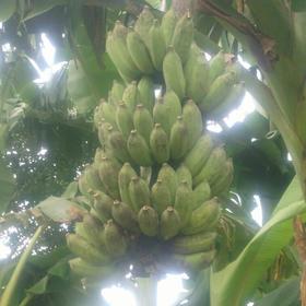 【爱心扶贫】海口贫困户符积全的香蕉(不支持线上交易)