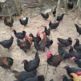 【爱心扶贫】东方贫困户杨亚命养殖的农家鸡(不支持线上交易)