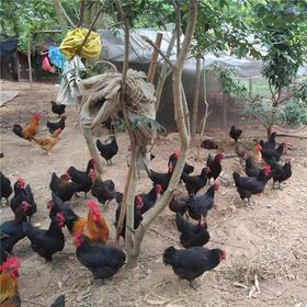 【爱心扶贫】东方贫困户杨亚除饲养的农家鸡(不支持线上交易)