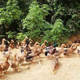 【爱心扶贫】五指山水满乡毛脑村委会什架开村贫困户的肉鸭