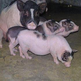 【爱心扶贫】保亭什玲勤富母猪养殖专业合作社的五脚猪(不支持线上交易)