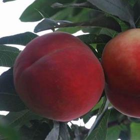 【金乡映霜红桃】映霜红桃子 单果半斤以上 5斤装/个大 颜色艳丽 脆甜可口