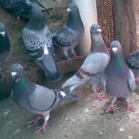 【爱心扶贫】屯昌贫困户王友饲养的乳鸽(不支持线上交易)