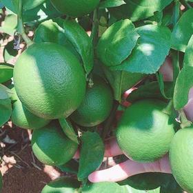 【爱心扶贫】文昌贫困户种植的青柠檬