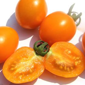 樱桃/金橙番茄 | 云南原生品种  非转基因 无土栽培 皮薄多汁 软绵香甜 高营养 低热量  一口吃下健康美味