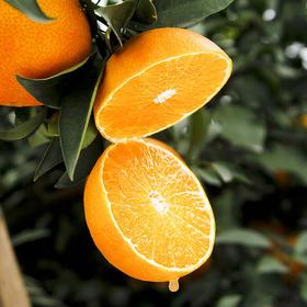 【爱媛38号特优果9~12枚5斤】|  新鲜柑橘 果冻冰糖橙