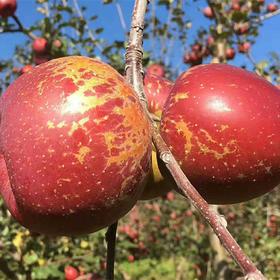 老树、高山、斜坡,泸沽湖畔的高原红【四川大凉山盐源丑苹果】