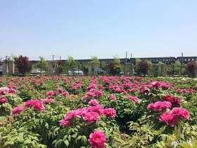 【花粉组团】牡丹团购,专业推荐适合江南种植的品种,50起团,到货后统一通知自提