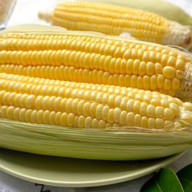 云南水果玉米 新鲜采摘 颗粒饱满 清甜软糯 5斤装(单果:300g左右)包邮