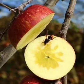 云南昭通丑苹果 | 甜脆果香浓郁