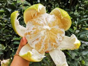 帮卖精选   葡萄柚 农家种植 果园直供 皮薄多汁 天然叶酸 入口细腻  5斤(4~6个)/箱