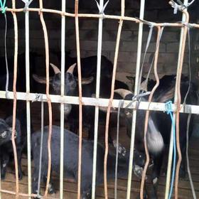 「定安」黑山羊-贫困户林尤英的黑山羊-不支持线上交易