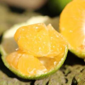 「海口」永兴岩味太子橘-贫困户陈树木的太子橘