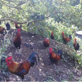 「昌江」山鸡1只-昌江王下黎祖生态旅游农业开发服务专业合作社的山鸡