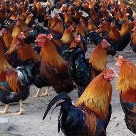 「定安」林下阉鸡-贫困户莫基权的阉鸡-不支持线上交易