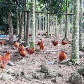 「琼海」山寮鸡-石壁南通生态养殖专业合作社-不支持线上交易