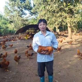 「定安」阉鸡-贫困户杨元武的玉米散养农家阉鸡-不支持线上交易