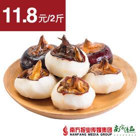 【脆爽可口】广西荔浦马蹄 单个带土20-45g左右  2斤±1两