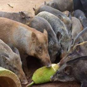 「琼海」野猪肉-塔洋绿态特种野猪农民专业合作社-不支持线上交易