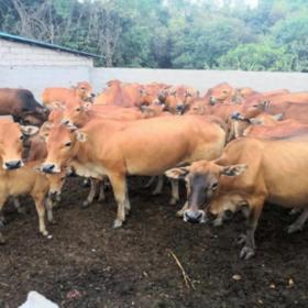 「儋州」土黄牛肉-海头启智农民种植养殖专业合作的扶贫黄牛-不支持线上交易