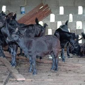 「文昌」农家小羊羔-贫困户陈彩垦的小羊羔-不支持线上交易