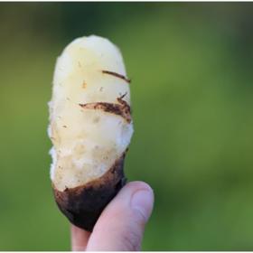 「海口」毛薯-贫困户王爱月的毛薯