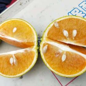 「海口」绿橙-贫困户吴小芳的海南绿橙