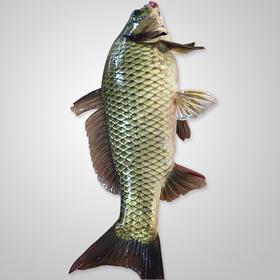 鲫鱼:1-1.5斤/条