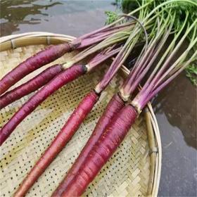 云南紫胡萝卜