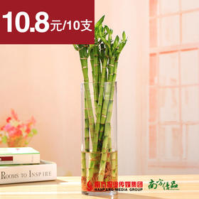 【净化空气】 水培植物 开运竹 10支