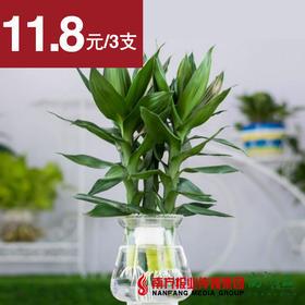 【不配送花瓶!】水培观音竹  3支