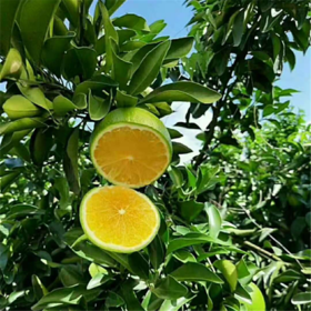 「海垦」绿橙1箱-乌石农场公司的扶贫绿橙