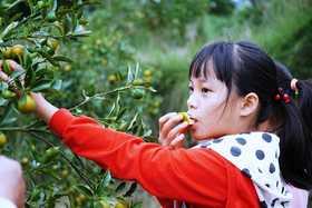帮卖精选  【CCTV2专题推荐】甜度高达25°有着300余年栽培历史的融安滑皮金桔,果园现摘直邮!