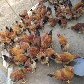 「临高」农家散养鸡-海南英大地产有限公司的扶贫农家散养鸡-不支持线上交易
