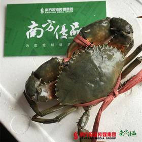 【膏滑肉鲜】正宗台山野生膏蟹 2斤(约3只)珠三角地区包邮