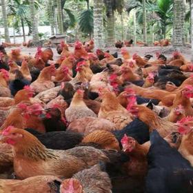 「琼中」土鸡-琼中兴民养鸡专业合作社-不支持线上交易