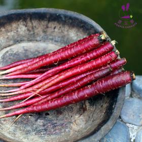 来自大理的紫玉萝,香脆甜大理特产紫萝卜,可以当水果直接吃,也可烹饪,口感好营养足
