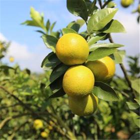「临高」美图香橙1箱-临高桃园种养殖专业合作社的扶贫美图香橙