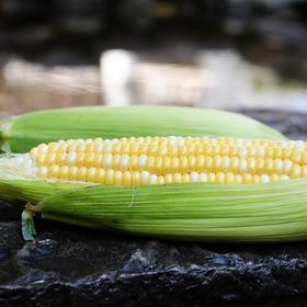 现摘云南新鲜玉米8斤农家自种甜脆水果玉米棒子3斤/5斤单根250g起
