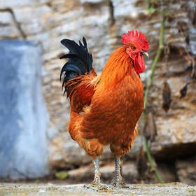 【生鲜预订】高山散养土鸡公鸡丨净重3斤左右