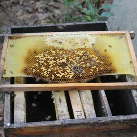 「五指山」  土蜂蜜-黄朝宁中华蜜蜂养殖示范点的扶贫产品