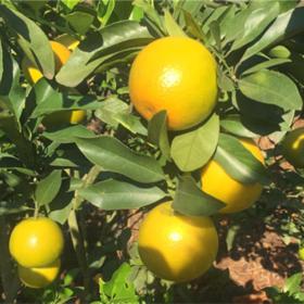 「澄迈」福橙9斤装-福云果业专业合作社的扶贫产品